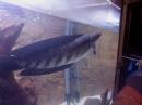 Snakehead 55cm Channa Marulioides Schlangenkopffisch Fütterung update 05.02.2013
