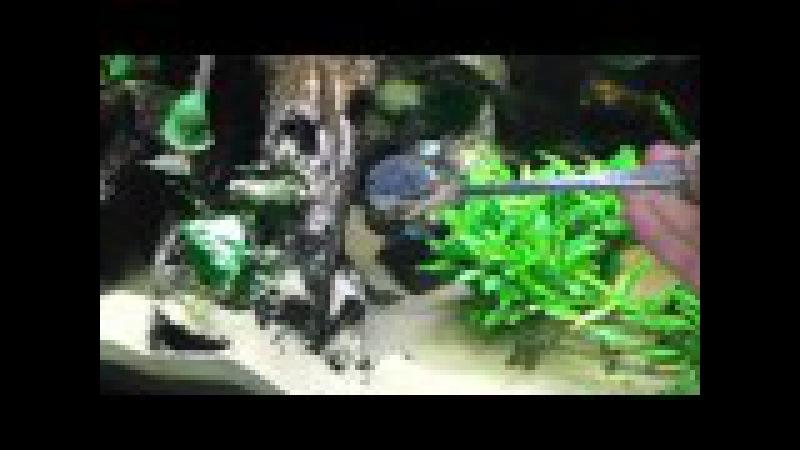 Channa Aurantimaculata Schlangenkopffisch beim Füttern