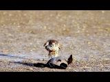 Falcon attacks duck rapidly Мгновенное нападение сокола на утку