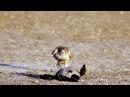 Falcon attacks duck rapidly / Мгновенное нападение сокола на утку
