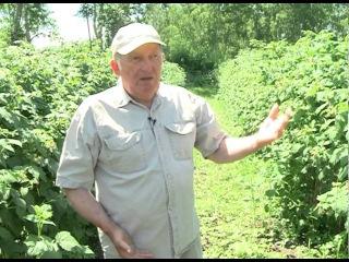 Интересная технология выращивания малины