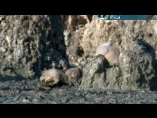 BBC «Жизнь на планете Земля: Птицы» (Документальный, животные, 2009)