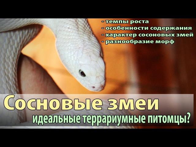 Морфы сосновых змей (Pituophis melanoleucus)