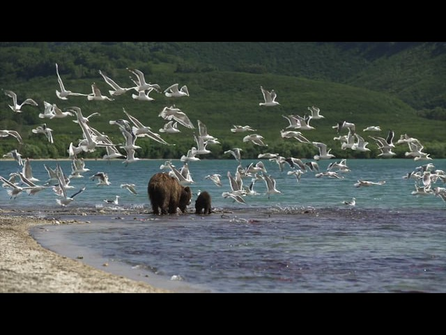 Teaser KAMCHATKA BEARS. THE BEGINNING OF LIFE (6) Russia, 2018, color, 52 min