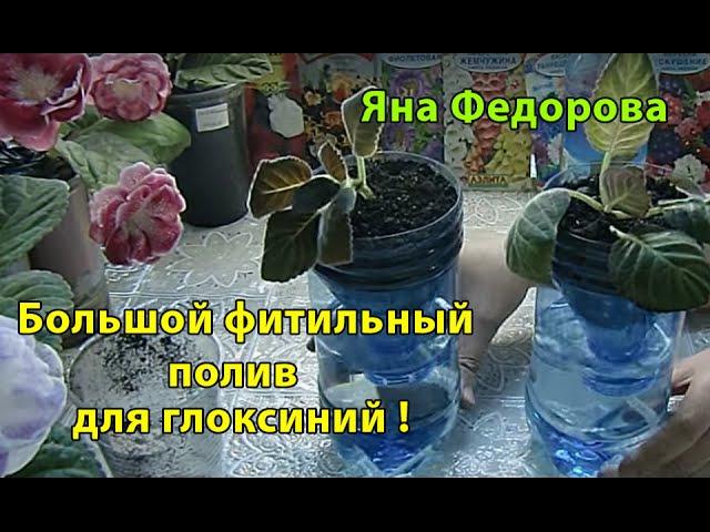 🌱Большой фитильный полив для глоксиний !🌱How to grow gloxinia part №8