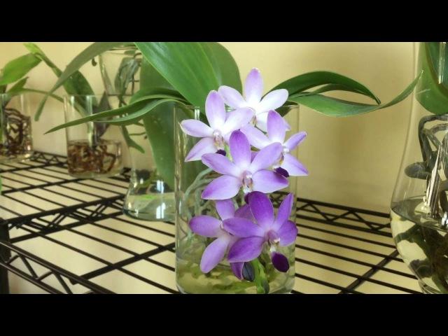 DTPS Purple Martin - full water culture phalaenopsis!