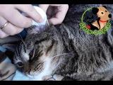 Как чистить уши кошке