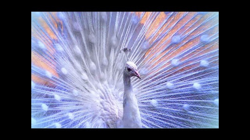 Красавец белый павлин