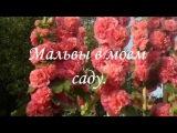 Мальвы(шток-розы) в моем саду. Часть 2. Капли любви. MALVA. Very beautiful music.