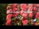 Мальвы шток розы в моем саду Часть 2 Капли любви MALVA Very beautiful music