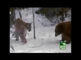 Пума против медведя
