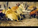 Битва стаи гиен и прайда львов конкуренция