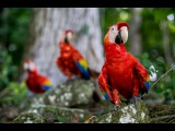 Birding Photography using the Sony A6300, shooting the Macaws in ancient Copan, Honduras