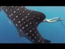 Завораживающее купание девушки с гигантской китовой акулой!