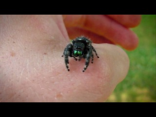 Macro Video of an Adult Female Phidippus Audax Jumping Spider