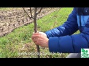 Как добиться плодоношения груши на 3-4 год любого сорта.