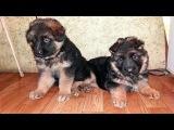 Щенки длинношерстной Немецкой овчарки. Puppies for sale long-haired German Shepherd.