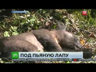 обычно изготавливается пьяная медведица в хабаровске видео российском… Узнать