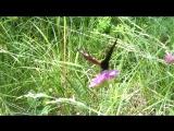 бабочка - бабочка, какая ты красавица, ойойойойой! какие у тебя крылышки! нука покажись, покажись во всей красе!