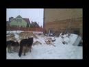 Собаки Вязка Страроставського мачо і горохівської девки