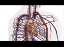 КРОВЕНОСНАЯ СИСТЕМА Человека!! Анатомия без слов! анимация new