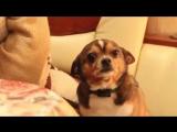 Выговор понимающей собачке  (6 sec)