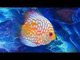 Аквариумные Рыбки. Дискус. Аквариумные Рыбки Видео. Футажи для видеомонтажа