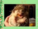 Это надо видеть! Ежик кушает морковку! Смешное видео!