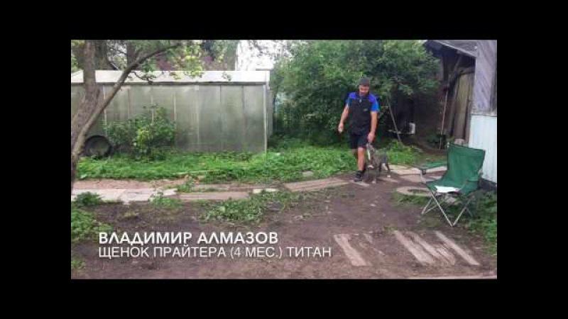 Апортировка предмета через барьер Щенки прайтера 4 месяца