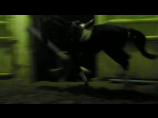 Эсхил(Эскуриал-Халдея),жеребец русской верховой породы,2013 г.р.