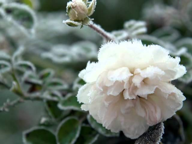 Белые цветы А.Шапиро.wmv