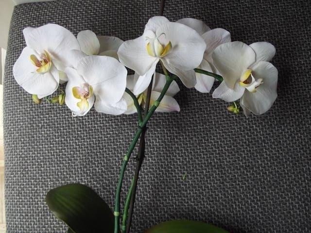 Орхидея Фаленопсис МК от Риты (попытка вторая :)) the Phalaenopsis Orchid by Rita (attempt two :