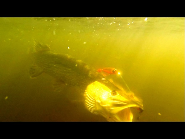 Fishing bright vs dark pike attack StrikePro Wolf Tail under water. Рыбалка щука атакует.