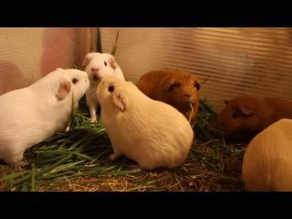 Скоростное поедание травы морскими свинками. Питомник
