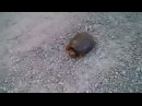 GTA 5 wasted Snapping Turtle Attacks · coub, коуб