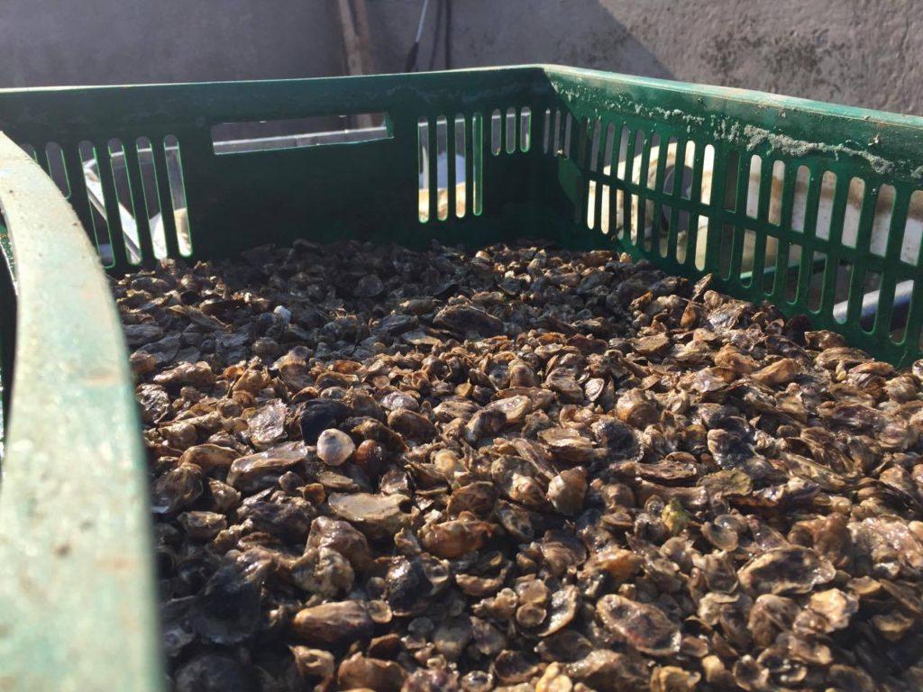Первая в Украине устричная ферма находится в Херсоне