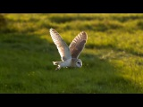 Barn Owl vs Peregrine Falcon vs Greylag Goose Super Powered Owls BBC