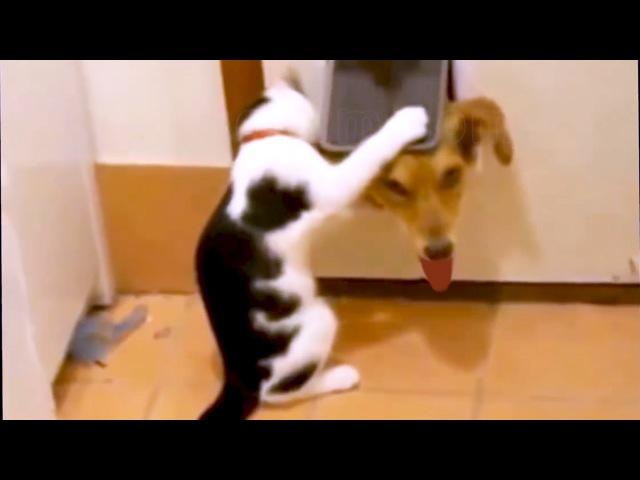 Кошки и собаки - друзья, или враги? Лучшие приколы кошек с собаками, их игры и противостояния