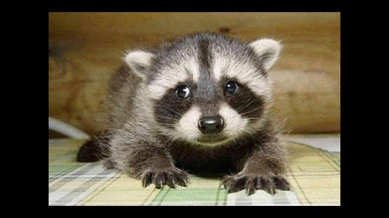 Крошка Енот little raccoon маленький енотик