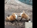 Two foxes laugh · coub, коуб