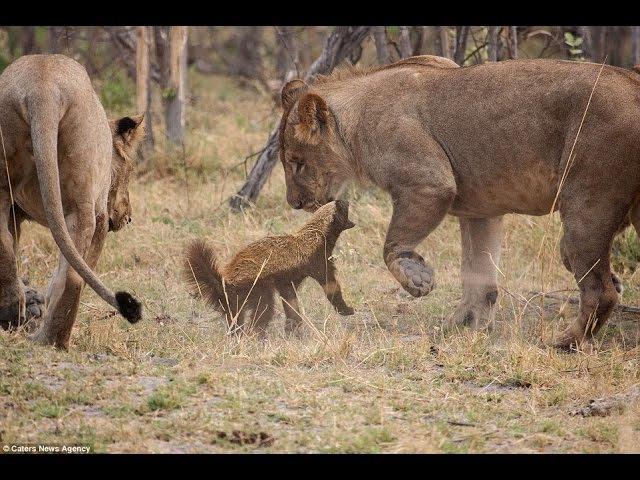 Прайд львов против медоеда