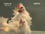 Декоративные куриные ''Гуаньшан Цзи Цзай'', или ''Цзятин Синьсин Чуну'', дословно ''Новые домашние животные'' - Бентамка ''Ай Цз