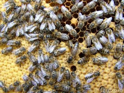 Пчелопакеты карника в Томске