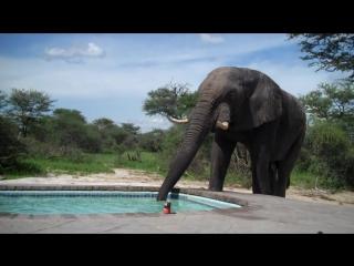 Слон решил попить воды из бассейна, где купались люди