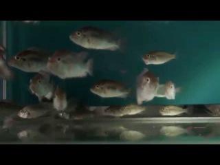 Жуковин о цихлидах озера Виктория HD\Cichlids of The Lake Victoria HD
