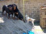 ротвейлер алабай свора .Rottweiler Alabai pack.