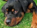 Ротвейлер. Породы собак