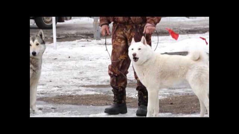 В Вятских Полянах прошла выставка собак охотничьих пород
