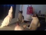 Попугай разговаривает с котами