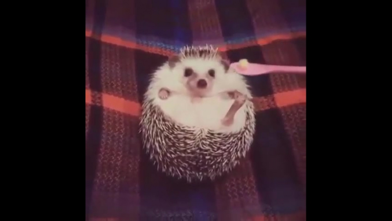 Hedgehog is hypocritical glutton